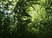Fouillis bambous (Jean-Paul Hameury)