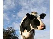 Queue Vache