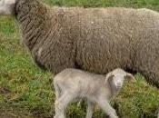 automobiliste blessé agneau tombé ciel
