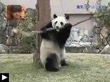 Videos d'animaux: panda s'énerve contre branche mule gourmande