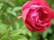 parfum roses (Jean Joubert)