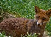 D-Clic Fox!