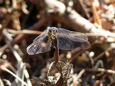Merveilleuses libellules...
