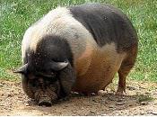 Titanesque Porc Sustantait Tant...
