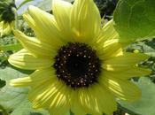 Fleur d'été tournesol Kuju Hanakoen