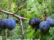 Tarte fine prunes lavande Maison Truie file Singes Malestroit