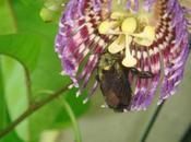 Vonvon Xylocopa mordax famille Apidae vuvuzela dans trompe