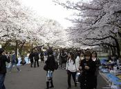 route cerisiers fleurs reportage
