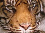 Sauvez tigre, signez pour tigre