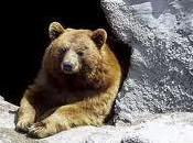 hiver trop chaud interrompt l'hibernation ours