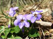 Journal d'une violette (2-01-2011)