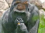Association Gorilla