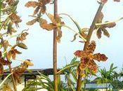 L'Orchidée Grammatophyllum speciosum fleurs