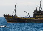 Victoire Shepherd contre baleiniers japonais