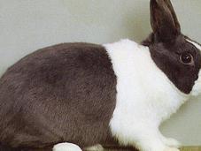 L'achat lapins reproducteurs.