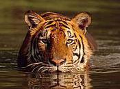 Faites rugir tigres pour sauver avec Traffic China