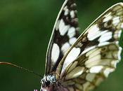 papillon noir blanc...
