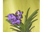 Orchidées Vanda