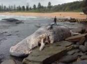 Cachalot échoué Sydney, Baleine Tunisie Ambre gris