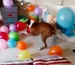chien fête anniversaire avec ballons baudruche
