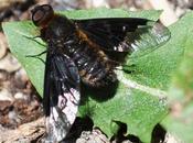 mouche toison ailes moitié noires...!