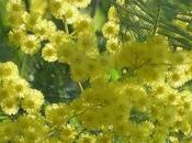 mimosa tanneron