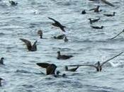 baleines Cuvier (Ziphius) plumes