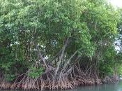 Planète Urgence prévoit planter palétuviers d'ici 2014