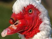 canard Barbarie blanc.