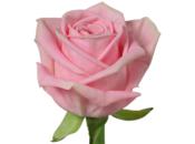 Rose, fleur plus appréciée