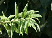 Cuisson haricots verts verveine