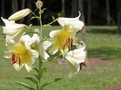 Crioceris lilii arrivé