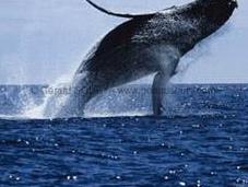 nombre captures baleines triplé