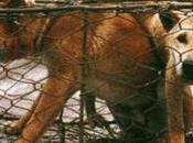 Viande chien entre sauvetages intermittents tortures extrêmes.