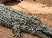 veux cœur crocodile