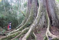 [Ouganda Corruption] Canne sucre Sauvons forêt Mabira