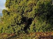 L'arbre l'année pistachier corse