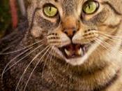 chat miaule plus pourquoi?