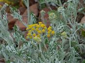 cinéraire maritime, plante invasive