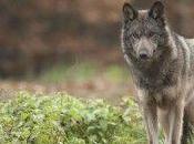 Onze loups abattre