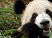 Signes grossesse d'un panda géant Japon