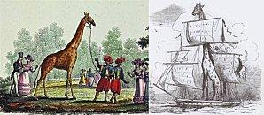 l'on peigne giraffe ZARAFA