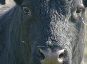 Hérault bovins élevés