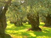 L'huile d'olive, trésor devenu bien trop banalisé…