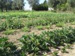 régie agricole Mouans-Sartoux (06)