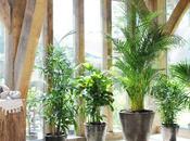 Stimulant palmier