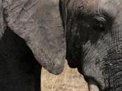 Saisie d'ivoire record Hong Kong, année noire pour éléphants