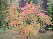L'automne Cornus officinalis