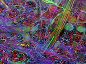 Brainbow: arc-en-ciel dans neurones