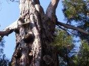 Faut-il abattre arbres remarquables